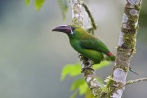 Crimson-rumped toucanet perched on tree branch in Ecuador. — Stock Photo