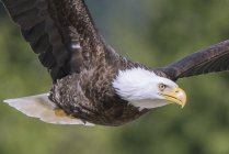 Bald eagle looking in camera while flying outdoors. — Stock Photo