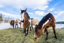 Лошади, питающиеся сеном зимой, 83 Mile House, Регион Карибу, Британская Колумбия, Канада — стоковое фото