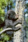 Black bear cub trying to climb pine tree in Alberta, Canada. — Stock Photo