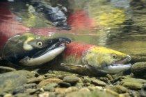Pesce di salmone di sockeye di riproduzione in acqua di Columbia Britannica, Canada — Foto stock