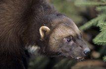 Adultos wolverine en el bosque de coníferas, primer plano - foto de stock