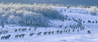 Лось стадо випасу в Сніг накривав лугу, біля траси озер Ватертона, Альберта, Канада — стокове фото