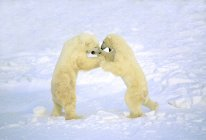 Male polar bears play-fighting in white snow. — Stock Photo