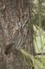 Western screech-owl perched on fir tree branch in woods. — Stock Photo