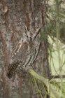 Otus ocidental empoleirado no galho de árvore do abeto na floresta. — Fotografia de Stock