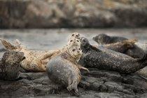 Sigilli del porto sdraiati sulle rocce e guardando in macchina fotografica in acqua . — Foto stock