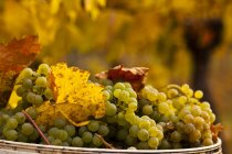 Harvested Gewurztraminer grapes in bowl in vineyard, close-up. — Stock Photo