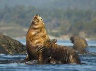 Leoni marini Steller riposano a Race Rocks in Canada . — Foto stock