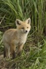 Red fox kit standing in green meadow grass. — Stock Photo