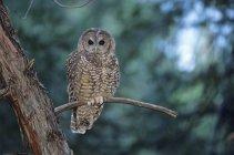 Северная пятнистая сова, сидя на ветке дерева на открытом воздухе. — стоковое фото