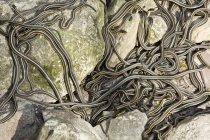 Grande gruppo di serpenti di giarrettiera Rosso-parteggiato in den a Winnipeg, Manitoba, Canada — Foto stock