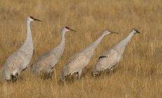 Grues du Canada marcher dans l'herbe des marais — Photo de stock