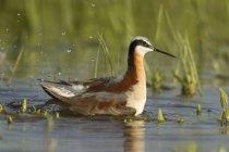 Oiseau de phalarope de Wilson nageant dans l'eau des marais. — Photo de stock