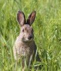 Alert snowshoe hare sitting in green meadow grass — стоковое фото
