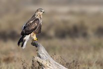 Rough-legged hawk perched on dry log in meadow — Stock Photo