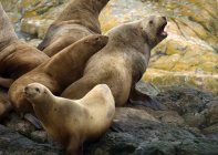 Steller sea lion on Trail Island, Canada — Stock Photo
