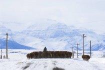 Стада великої рогатої худоби, водіння, фермер вздовж країни дороги, південно-західній провінції Альберта, Канада — стокове фото