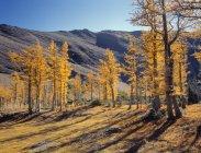 Oberen Rowe See und Lärche Bäume im Herbst, Waterton Lakes National Park, Alberta, Kanada — Stockfoto