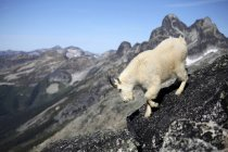 Mountain goat climbing from rocks in Valhalla Provincial Park, Canada — Stock Photo