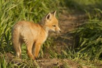 Red Fox Kit stehende grüne Wiese Gras. — Stockfoto