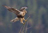 Ramoscelli di grezzo – legged hawk atterraggio sull'albero — Foto stock