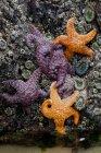 Крупный план Pisaster ochraceus purple sea stars and ochre sea stars at Cannon Beach, Oregon, USA . — стоковое фото