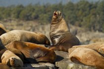 Калифорния сивучей отдыхает на скалах расы, Виктория, Британская Колумбия, Канада — стоковое фото