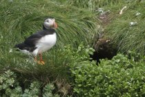 Atlantic puffin perched on grassy cliff near nest burrow. — Stock Photo