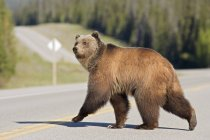 Grizzly bear crossing highway at Timber Creek, Alberta, Canada — Stock Photo