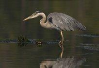 Grand héron de chasse aux oiseaux dans des zones humides. — Photo de stock