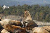 Leoni marini californiani appoggiati su Race Rocks, Victoria, British Columbia, Canada . — Foto stock