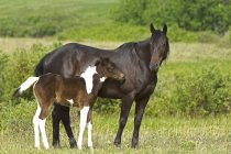 Horse with foal on ranch pasture in southwest Alberta, Canada. — Stock Photo