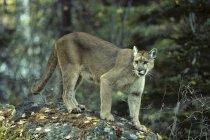 Donna cougar camminando sulle rocce nella foresta. — Foto stock