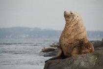 Чубата Блакитна морських левів, відпочиваючи на гонку порід, Вікторії, Канада — стокове фото