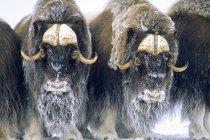 Muskoxen in defensive circle, Banks Island, Northwest Territories, Arctic Canada. — стоковое фото