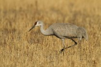 Sandhill crane hunting in autumnal march meadow in New Mexico, USA — Stock Photo