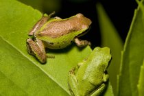 Pacific tree frogs sitting on plant leaf, close-up — Stock Photo