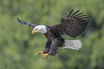 Bald eagle landing while hunting outdoors. — Stock Photo