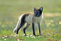 Arctic fox in summer pelage standing in green meadow with flowers. — стоковое фото