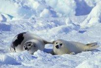 Sello de arpa y cachorro descansando en la nieve del Golfo del San Lorenzo, Canadá - foto de stock