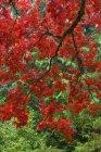 Herbstliches Laub im japanischen Garten, Butchart-Gärten, Brentwood Bay, Britisch Columbia, Kanada — Stockfoto