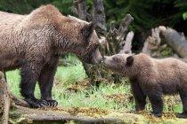Grizzly oso besos cachorro estando en registro en bosque. - foto de stock