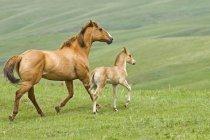 Stute und Fohlen laufen über die Weide einer Ranch im Südwesten Albertas, Kanada. — Stockfoto
