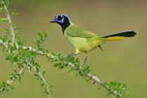 Oiseau vert jay se percher sur la branche de la plante. — Photo de stock