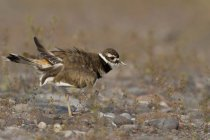 Side view of Killdeer bird walking on ground — Stock Photo