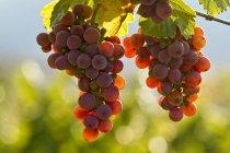 Ripe Gewurtztraminer grapes growing in vineyard in sunlight. — Stock Photo