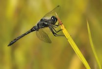 Black meadowhawk dragonfly landing on plant, close-up. — Stock Photo