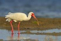 Ibis blanc, pataugeant dans les marais humides — Photo de stock