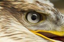 Gros plan sur le œil d'oiseau buse rouilleuse. — Photo de stock